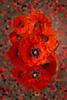 Buy Poppies at Fine Art America