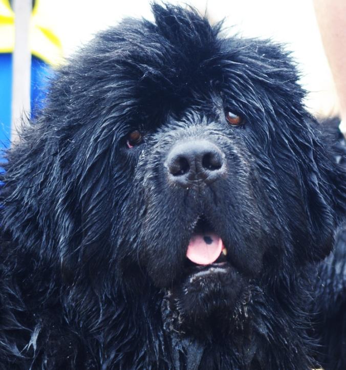 Newfoundland Rescue Dog